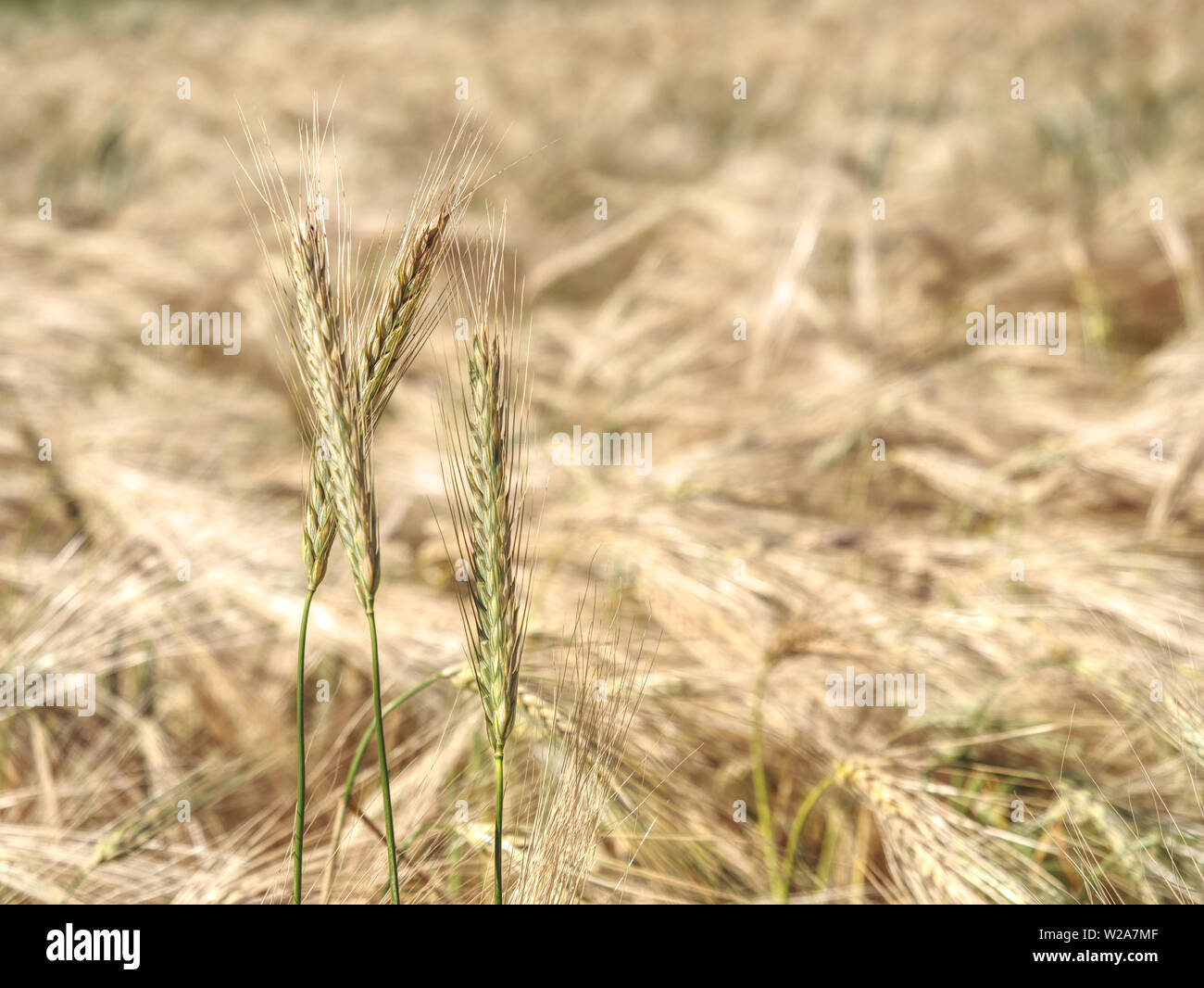 Barley field on the bright summer day.  Detailed view on agricultural crop fields growing on a sunny day in high resolution - Stock Image