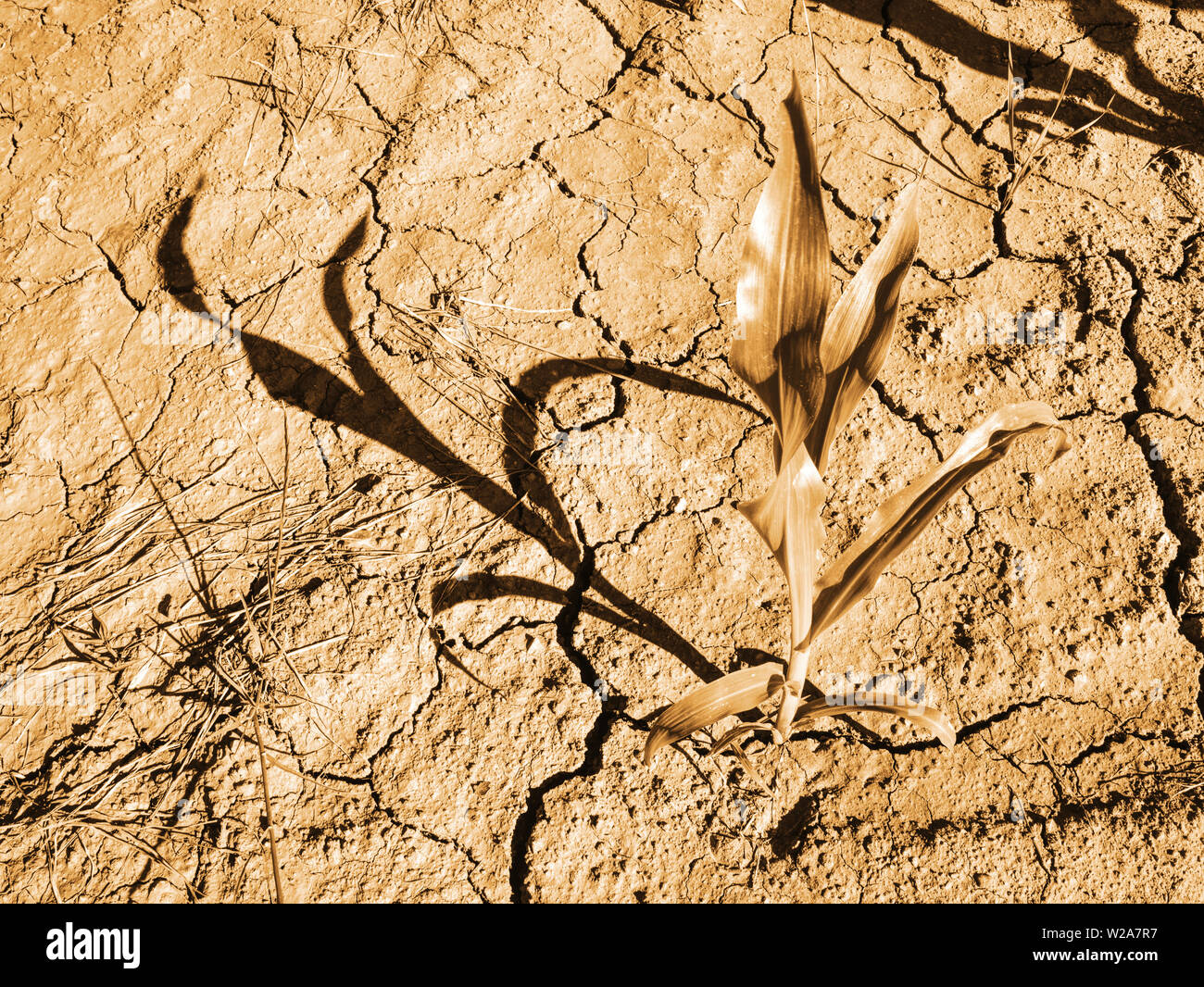 Detail of the Maize Stalk in dry red ferric soil without moisture and nutrients. - Stock Image