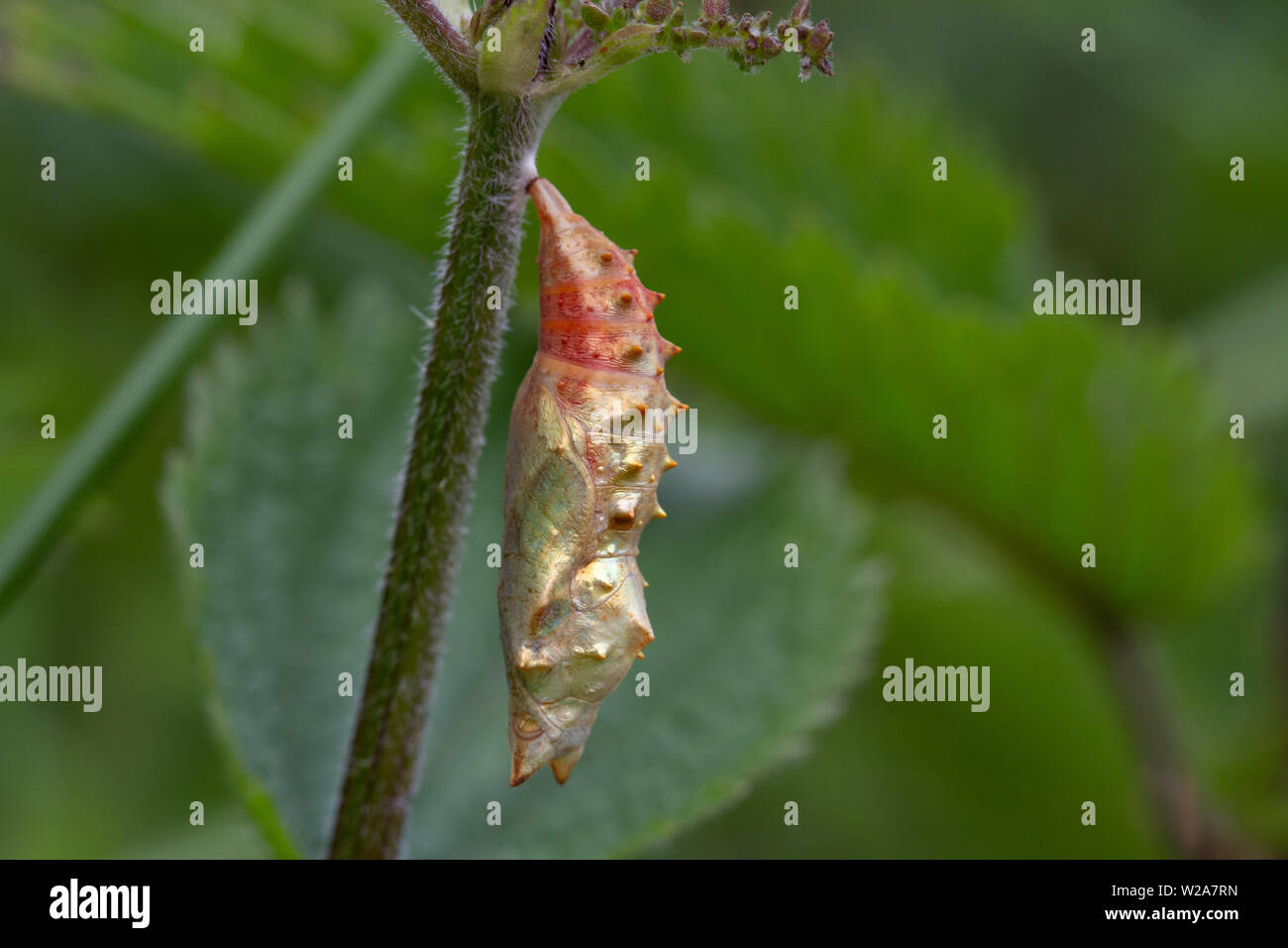 Uk wildlife: Peacock butterfly pupa after about one week Stock Photo