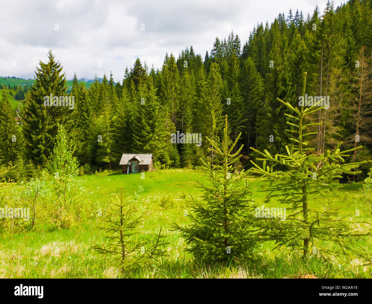 Llittle fir trees on the green grass field in front of a wooden cottage surrounded by coniferous forests. Picturesque spring idyllic scene of the Carp - Stock Image
