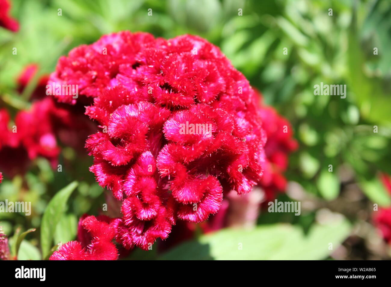 Beautiful red fuzzy crested cockscomb, Celosia argentea var. cristata, growing in a garden in the bright summer sun. Stock Photo