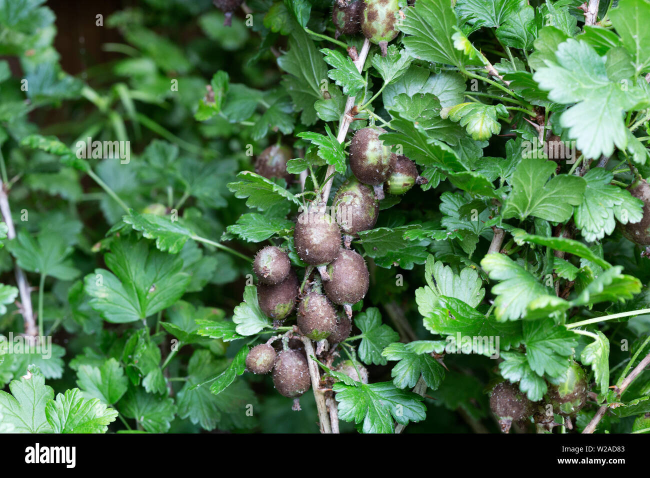 American gooseberry mildew, by the fungus Sphaerotheca mors-uvae, causes brown patches on gooseberries due to the fungal infection of the fruit; UK - Stock Image