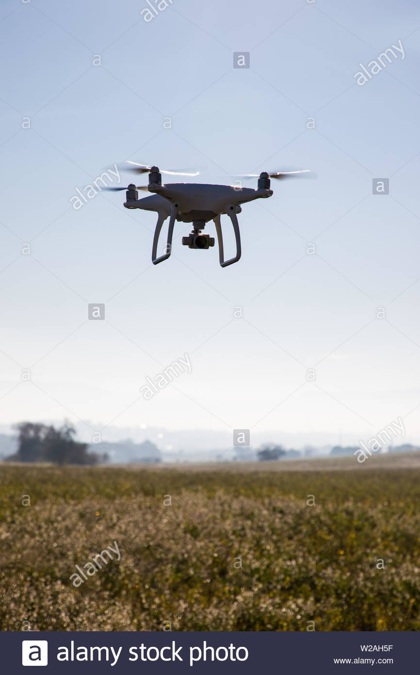 Recording drone on the sky over white flowers field - Stock Image