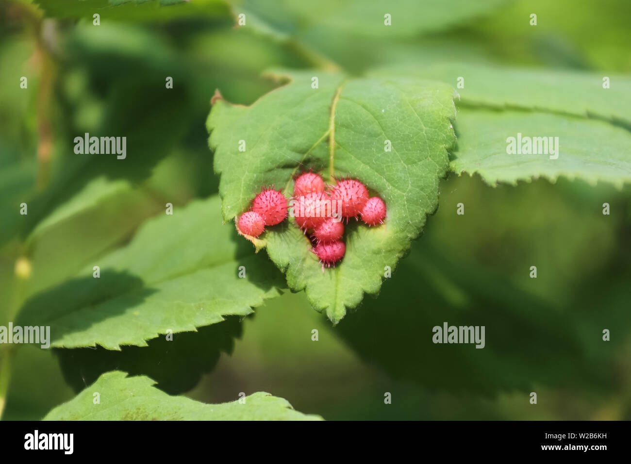 Pink Wild Rose Galls on green leaves - Stock Image