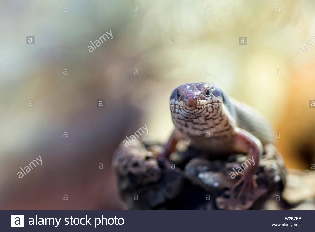 Close up of skink lizard. - Stock Image