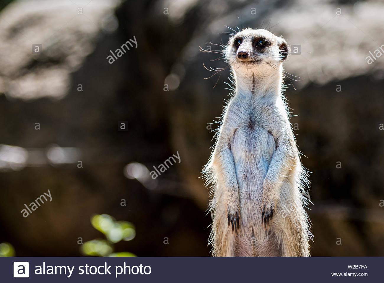 Meerkat standing up and looking around. - Stock Image