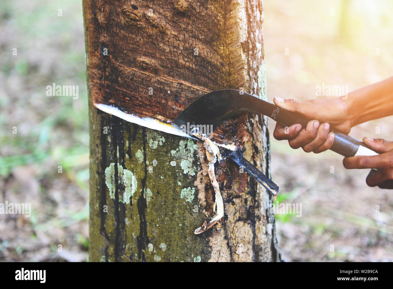Tapping latex rubber extracted from rubber tree plantation agriculture of asia for natural latex - Stock Image