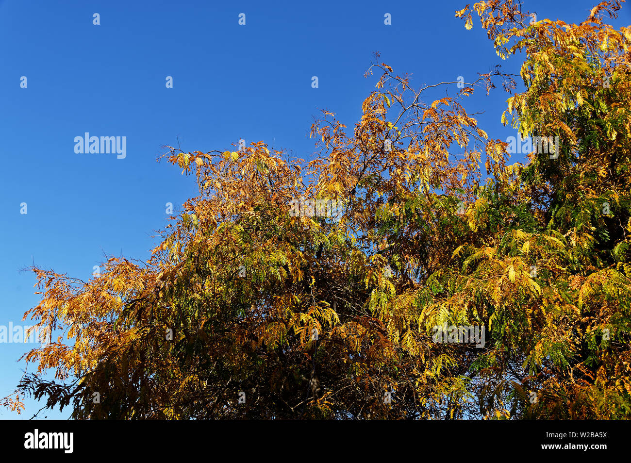 A bright blue sky is the backdrop for autumn leaves on a tree - Stock Image