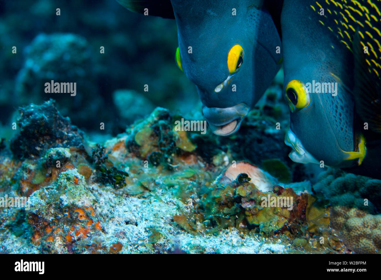 Beautiful French Angelfish searching for food on a coral reef in the Caribbean, Providenciales, Turks and Caicos Islands. Angelfish are often seen swi - Stock Image