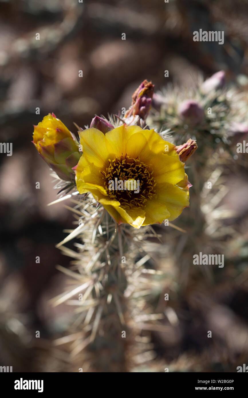 Wild Yellow Cholla flower blooming in the mojave desert Stock Photo
