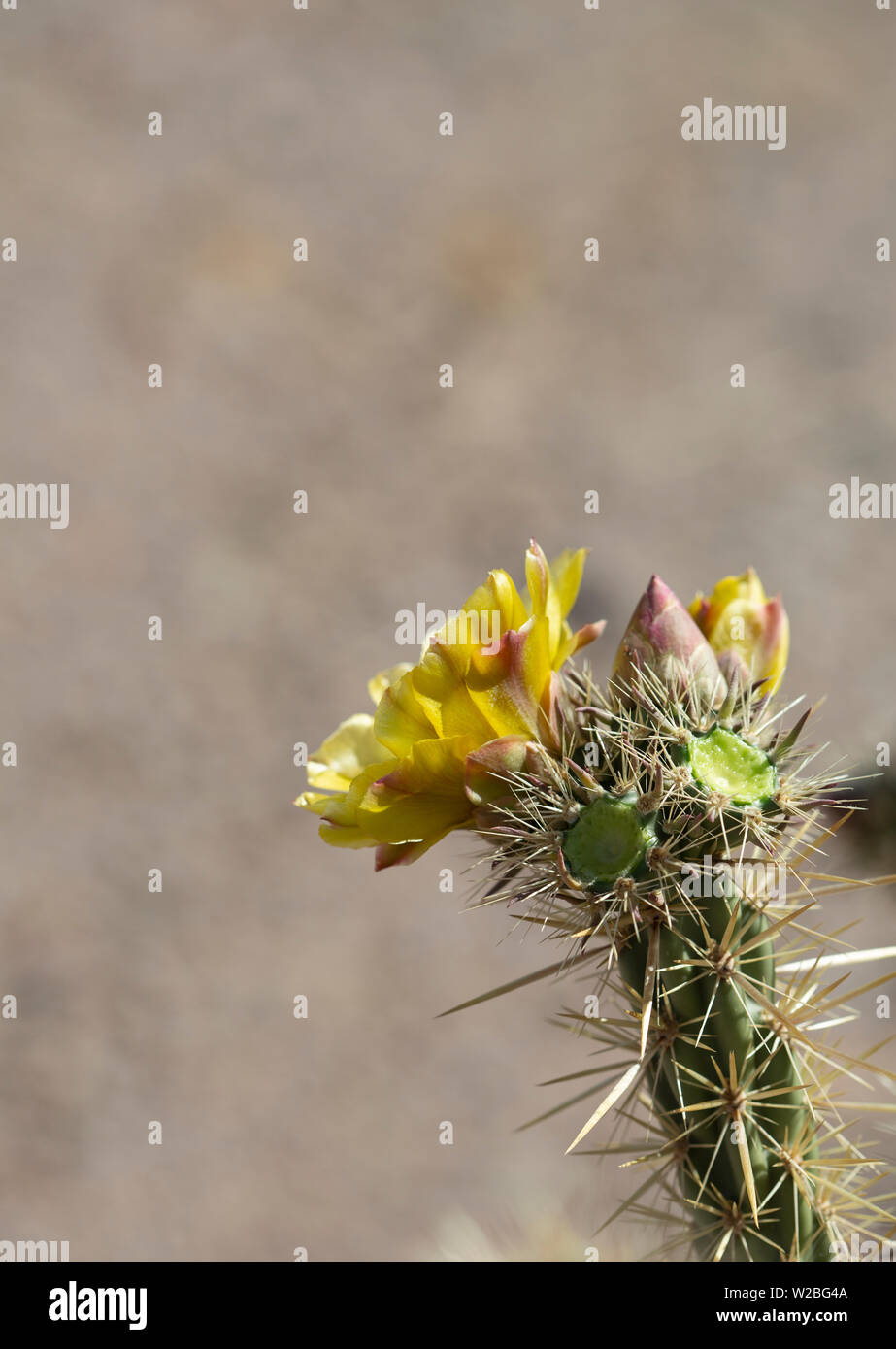 Yellow blooming flower of cholla plant in desert Stock Photo