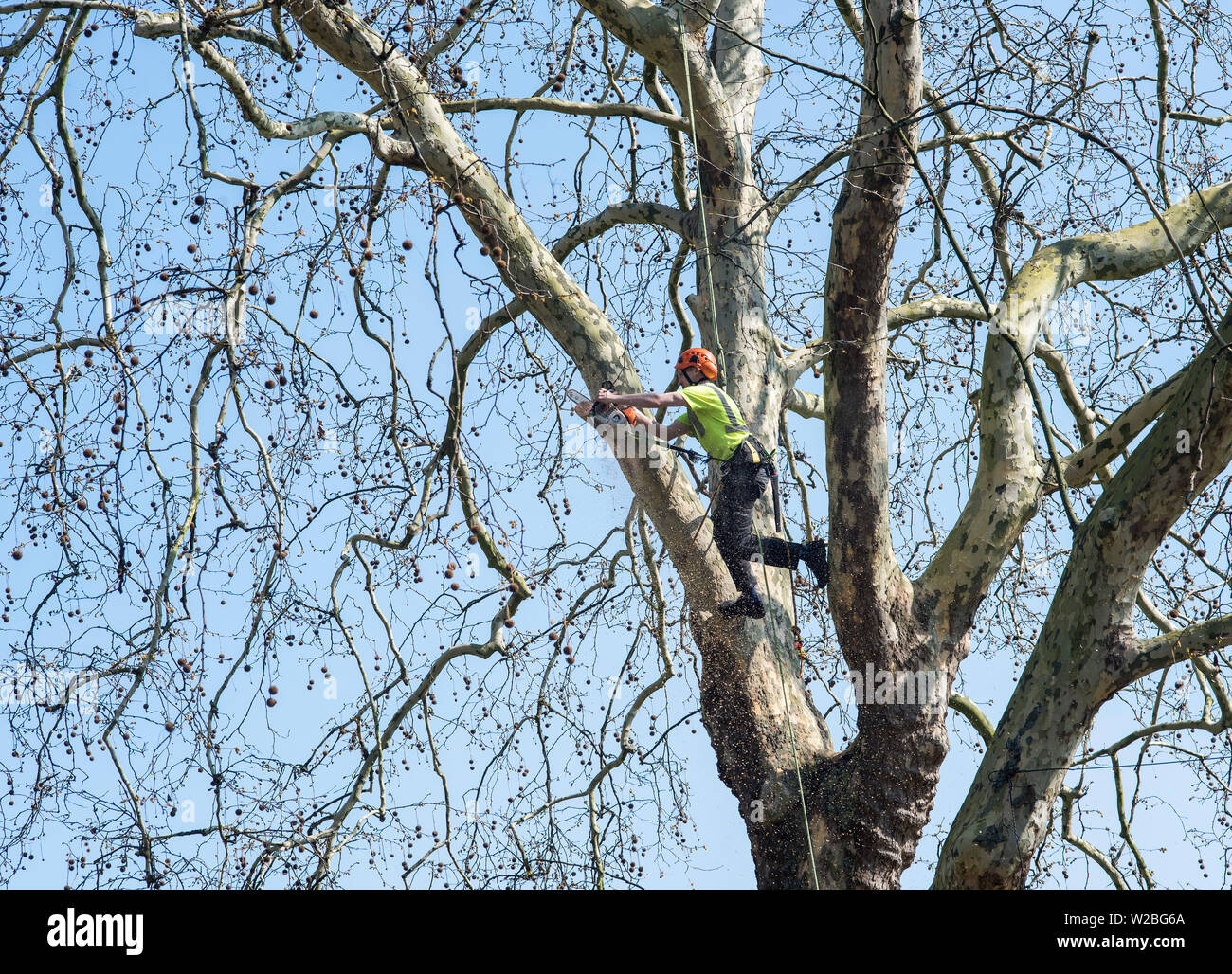 A man using a chainsaw in a tree to trim branches. - Stock Image