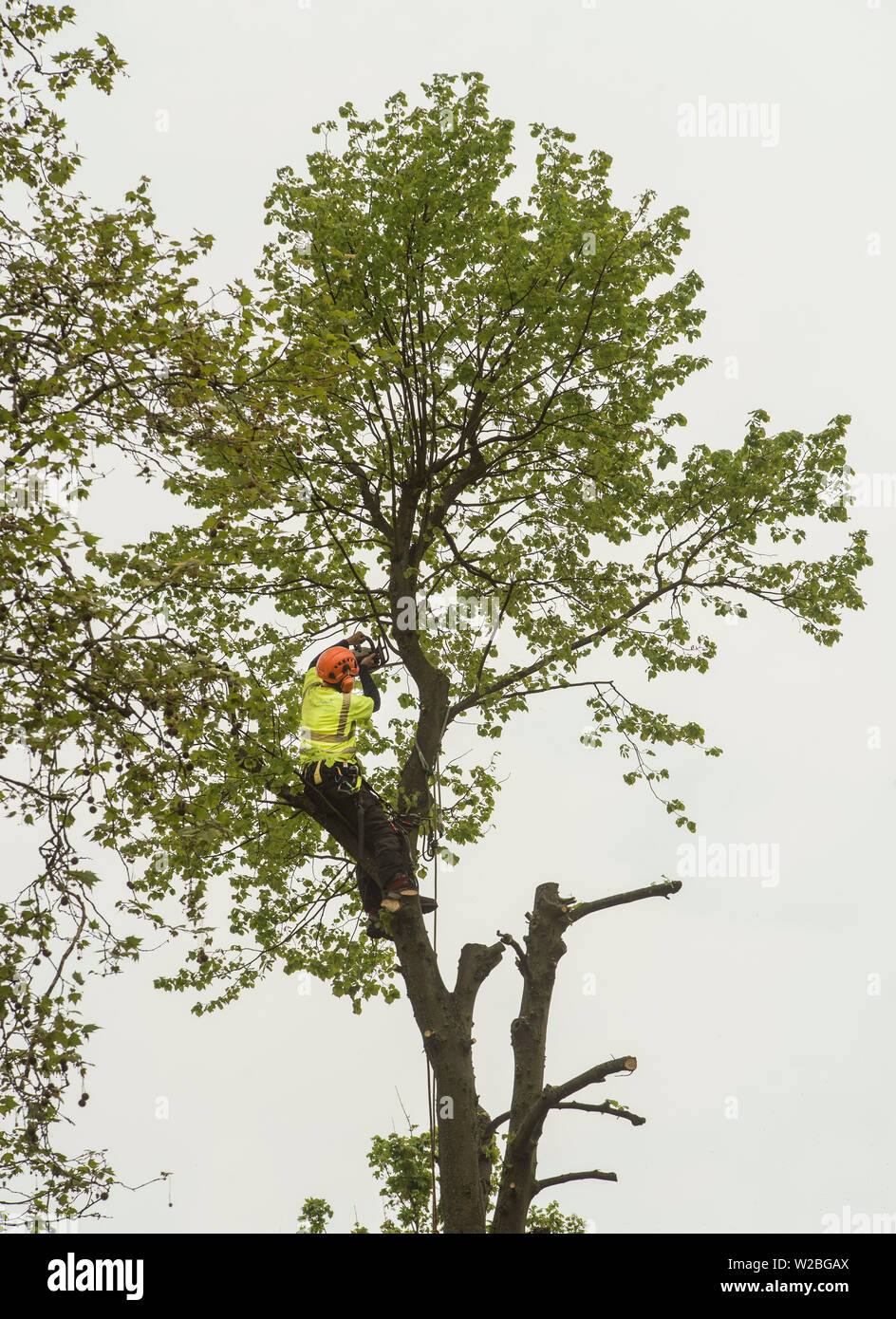 A man in high vis and protection equipment rope climbs with a chainsaw to pollard a tree. - Stock Image