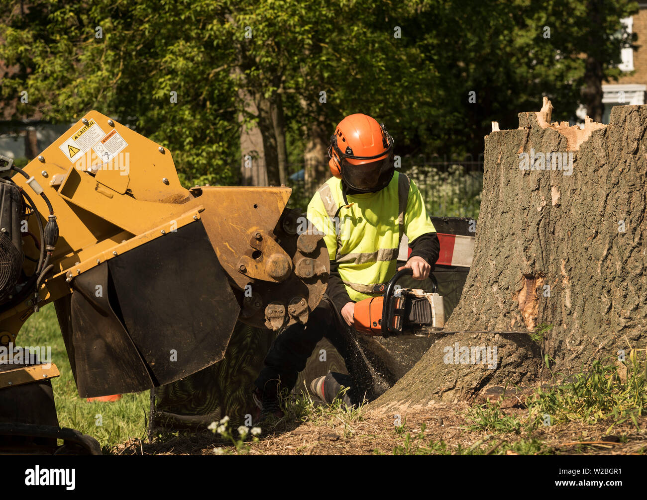 A man in full PPE using a chainsaw to cut a tree stump from it's base. - Stock Image