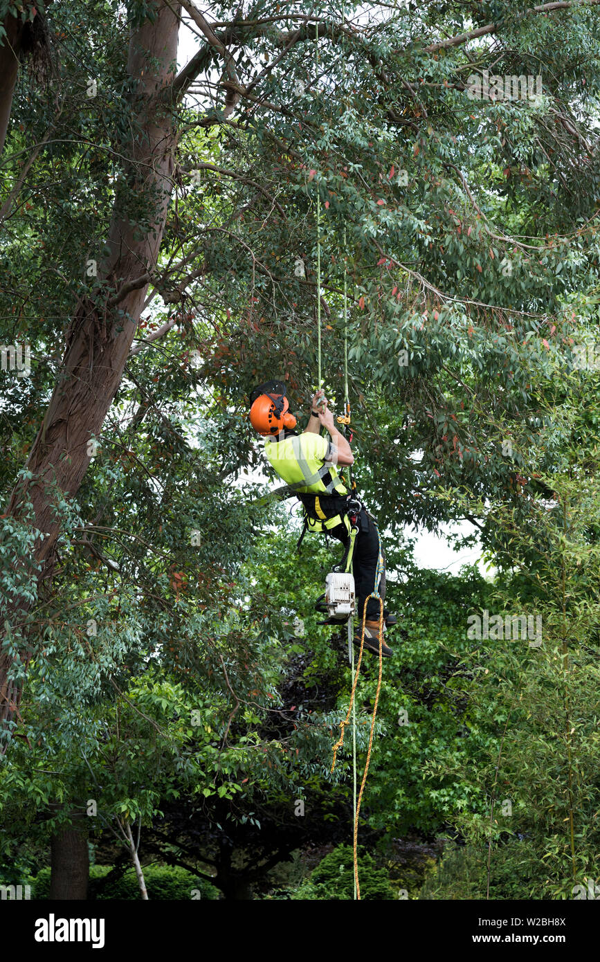 A man in high vis and protection equipment rope climbs with a chainsaw to trim a tree. - Stock Image