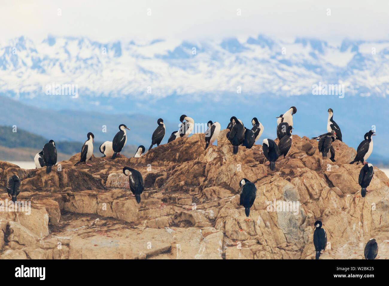 Argentina, Tierra del Fuego, Ushuaia, Beagle Channel,  Emperor Cormorants - Stock Image