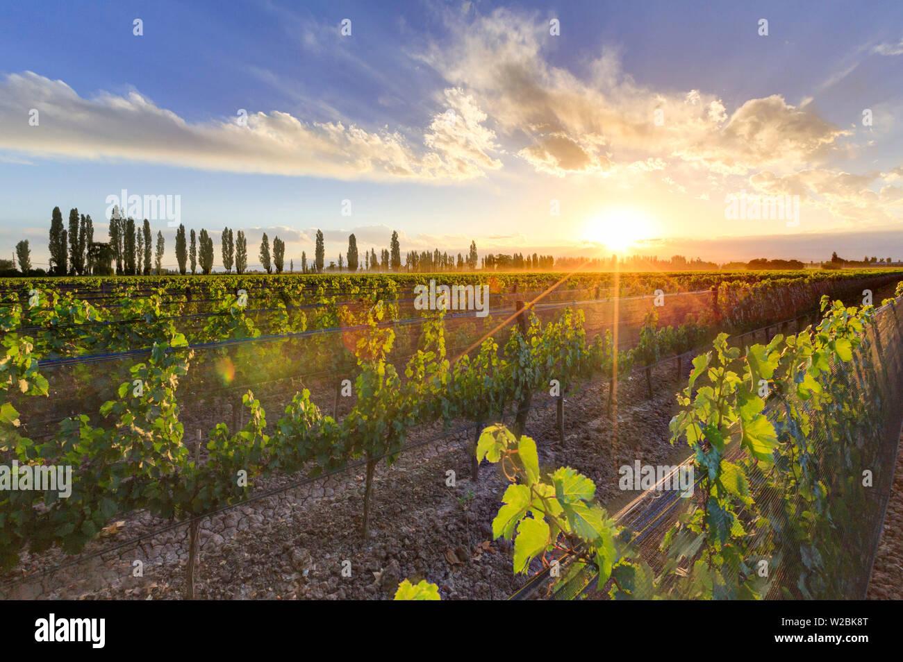 Argentina, Mendoza, Lujan de Cuyo, Malbec Grape Wineries - Stock Image