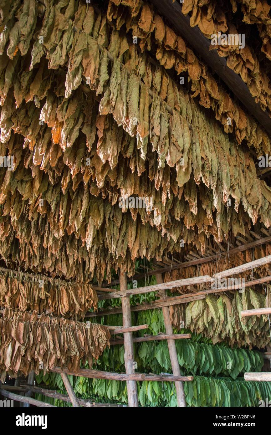Drying house at the Alejandro Robaina Tobacco Plantation, Pinar del Rio Province, Cuba - Stock Image