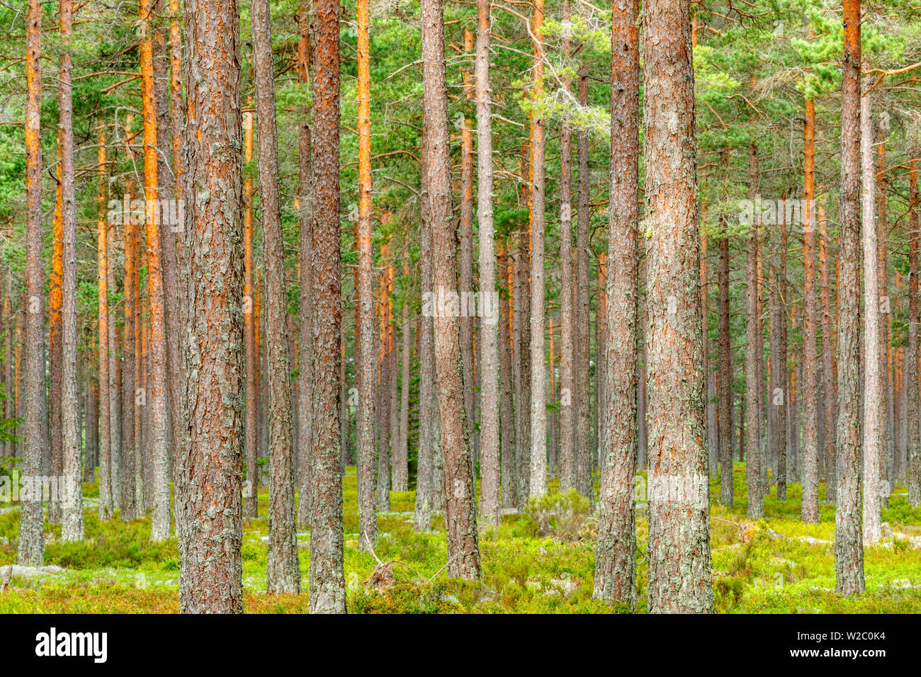 Lot of Pine tree trunks in a woodland - Stock Image