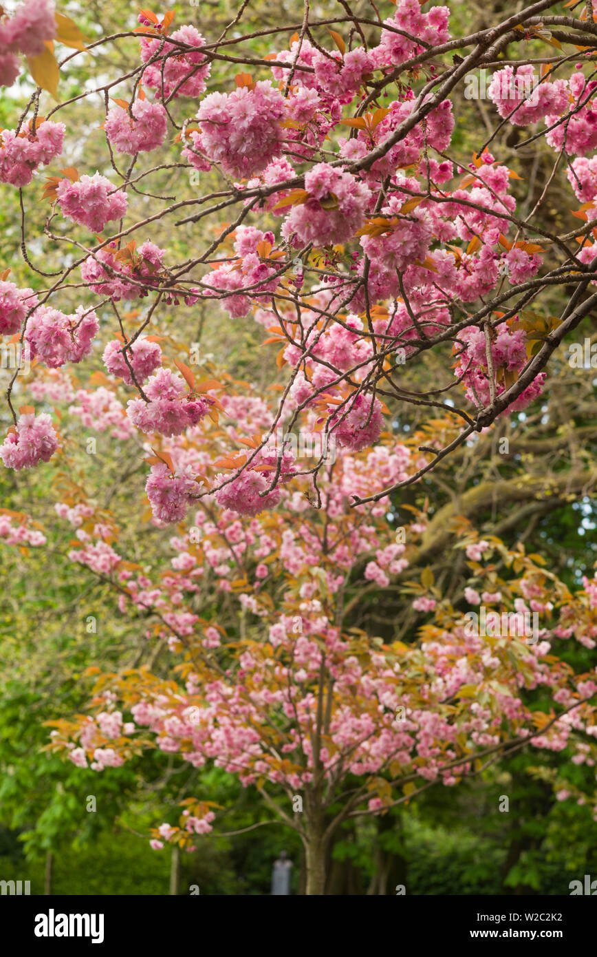 Ireland, Dublin, St. Stephen's Green, spring blooms - Stock Image