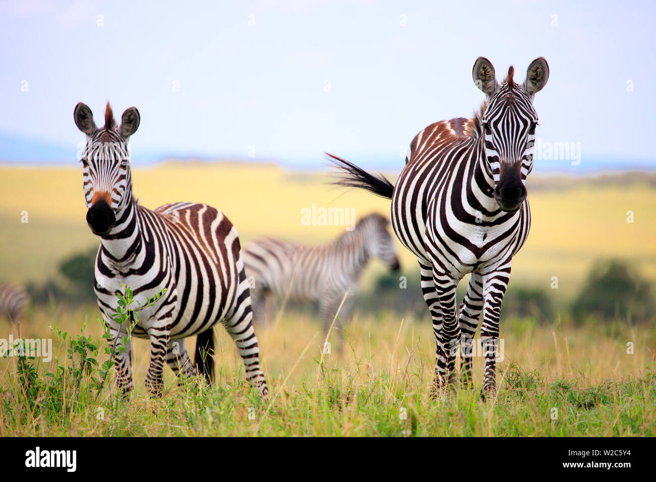 Grevy zebra (Equus grevyi), Maasai Mara National Reserve, Kenya Stock Photo