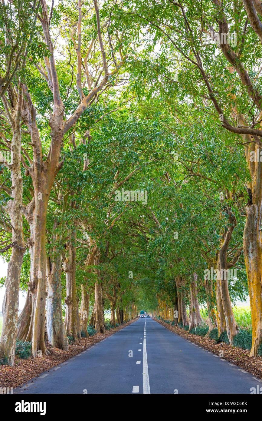 Tree lined road, Flacq, East Coast, Mauritius - Stock Image