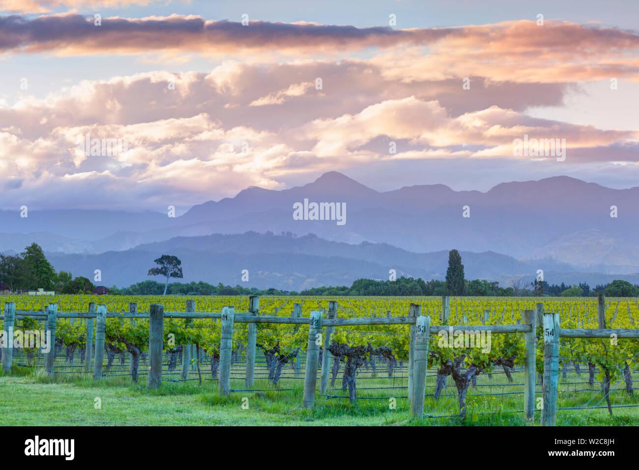 Picturesque Vineyard illuminated at sunset, Blenheim, Marlborough, South Island, New Zealand Stock Photo