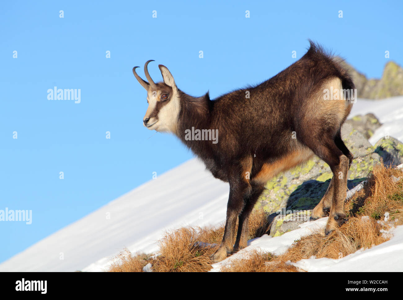 Chamois at winter in Tatras - rupicapra rupicapra Stock Photo