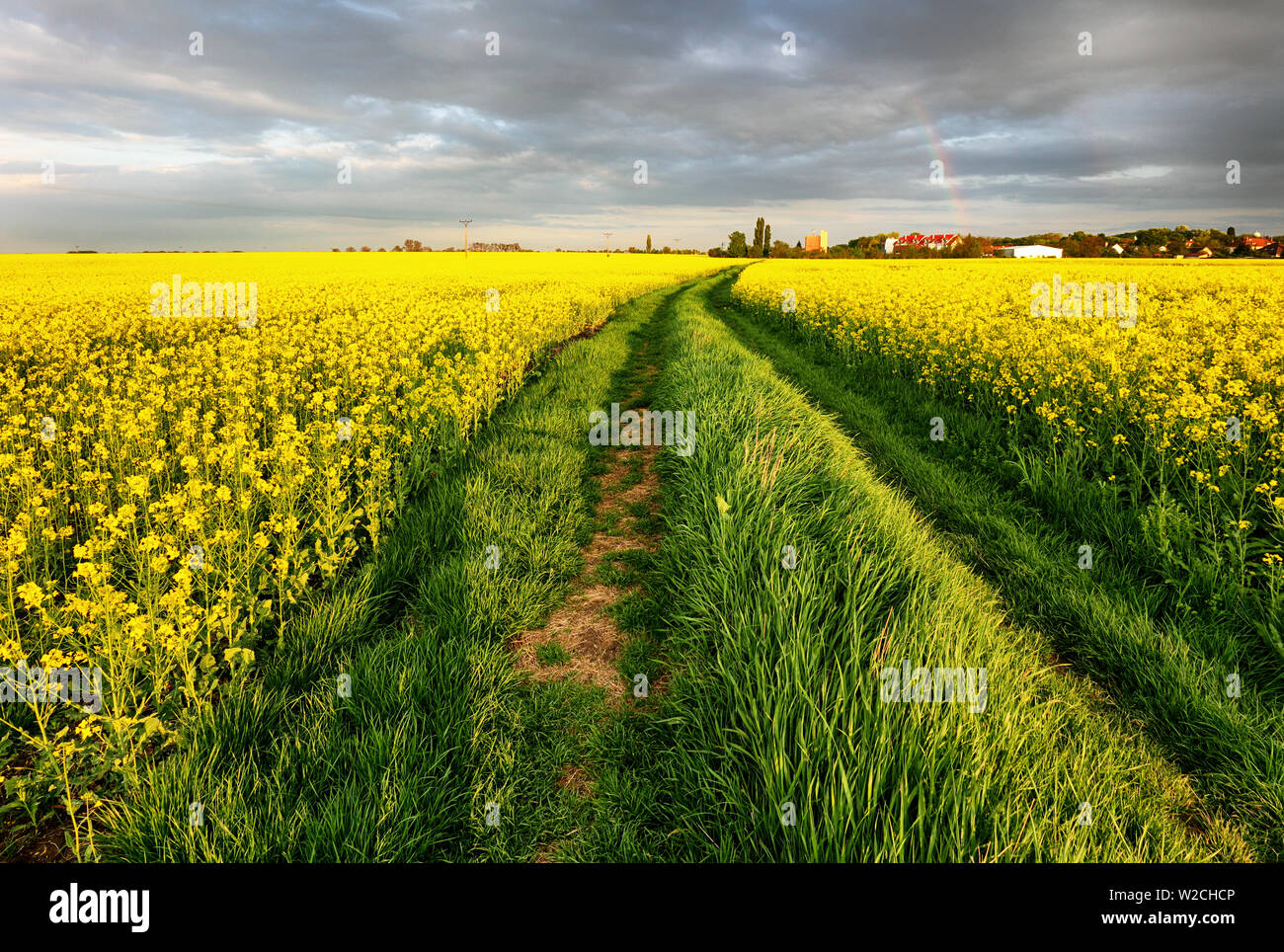 Rape field with in the rural landscape with path Stock Photo