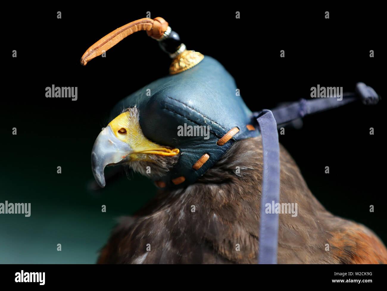 London, UK. 8th July, 2019. Rufus The Wimbledon Hawk, The Wimbledon Championships 2019, 2019 Credit: Allstar Picture Library/Alamy Live News Stock Photo