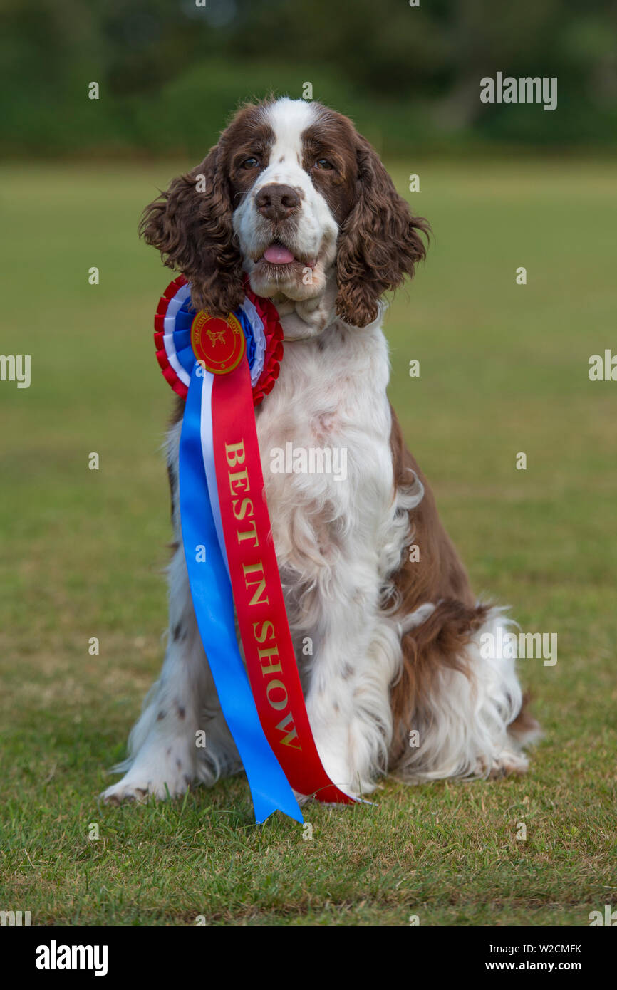 english springer spaniel best in Show Dog - Stock Image