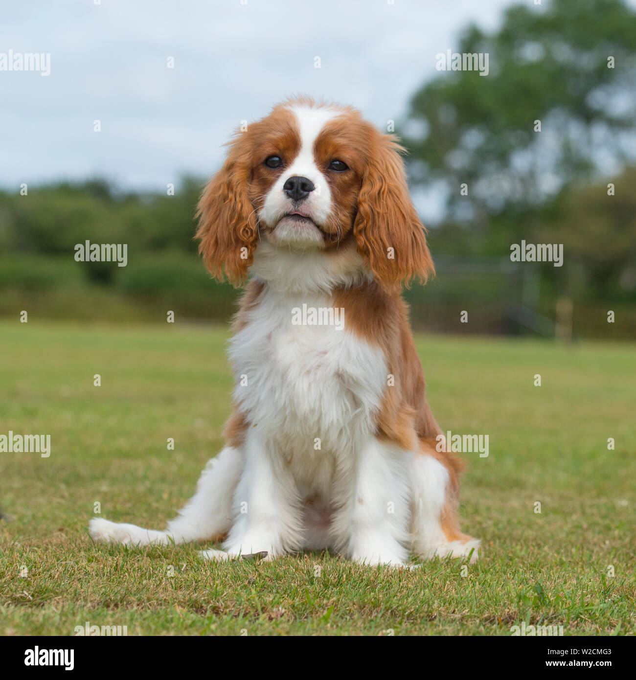 Cavalier King Charles Spaniel Puppy Stock Photo Alamy