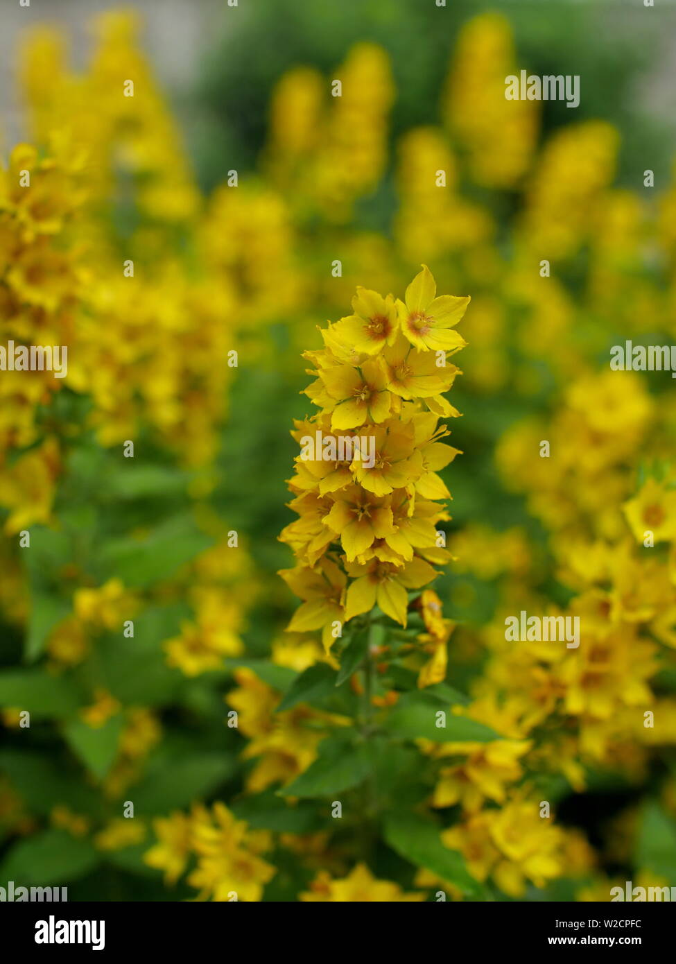flowers loosestrife bright yellow inflorescences and lush green foliage Stock Photo