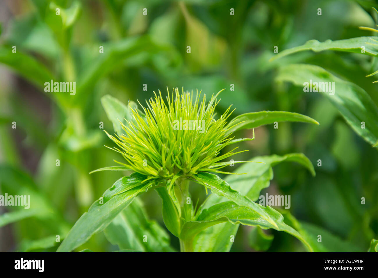 Dianthus barbatus flowers starting to bloom, green flower buds with sharp thin leaves, springtime garden - Sweet-williams - Caryophyllaceae - Stock Image