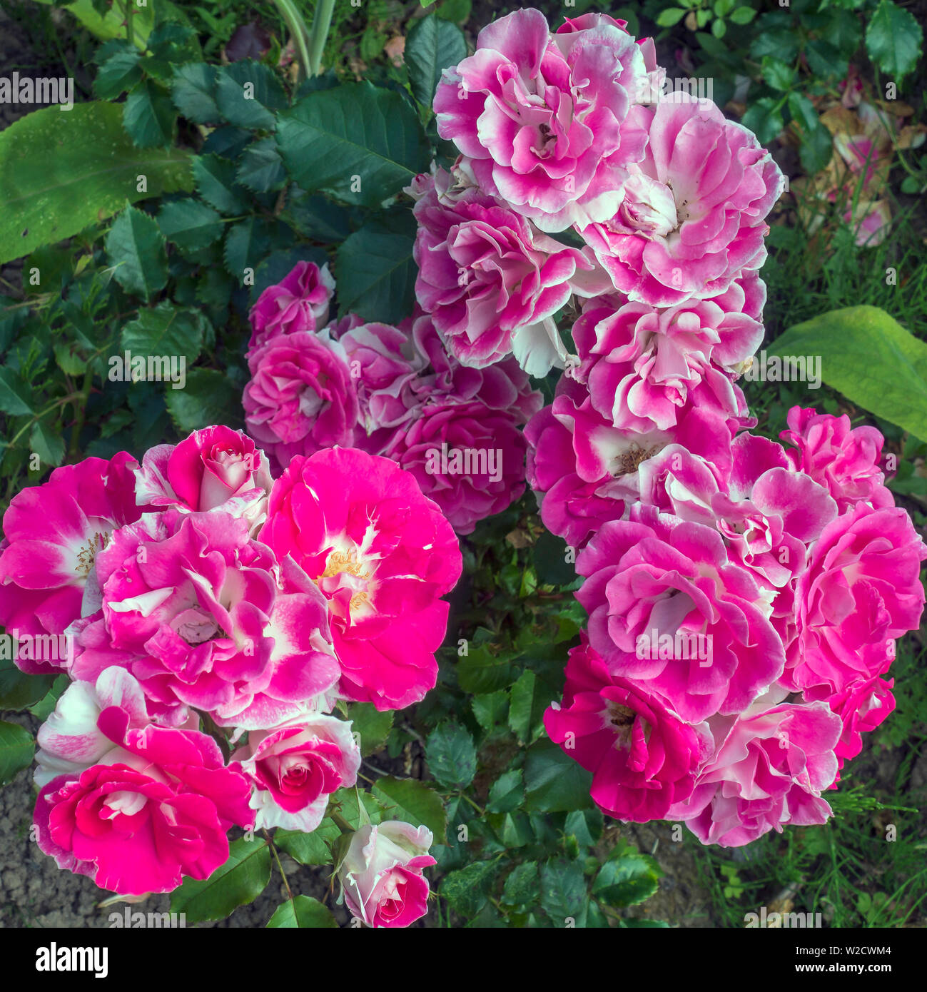 Pink and White Rose, Rosa - Stock Image