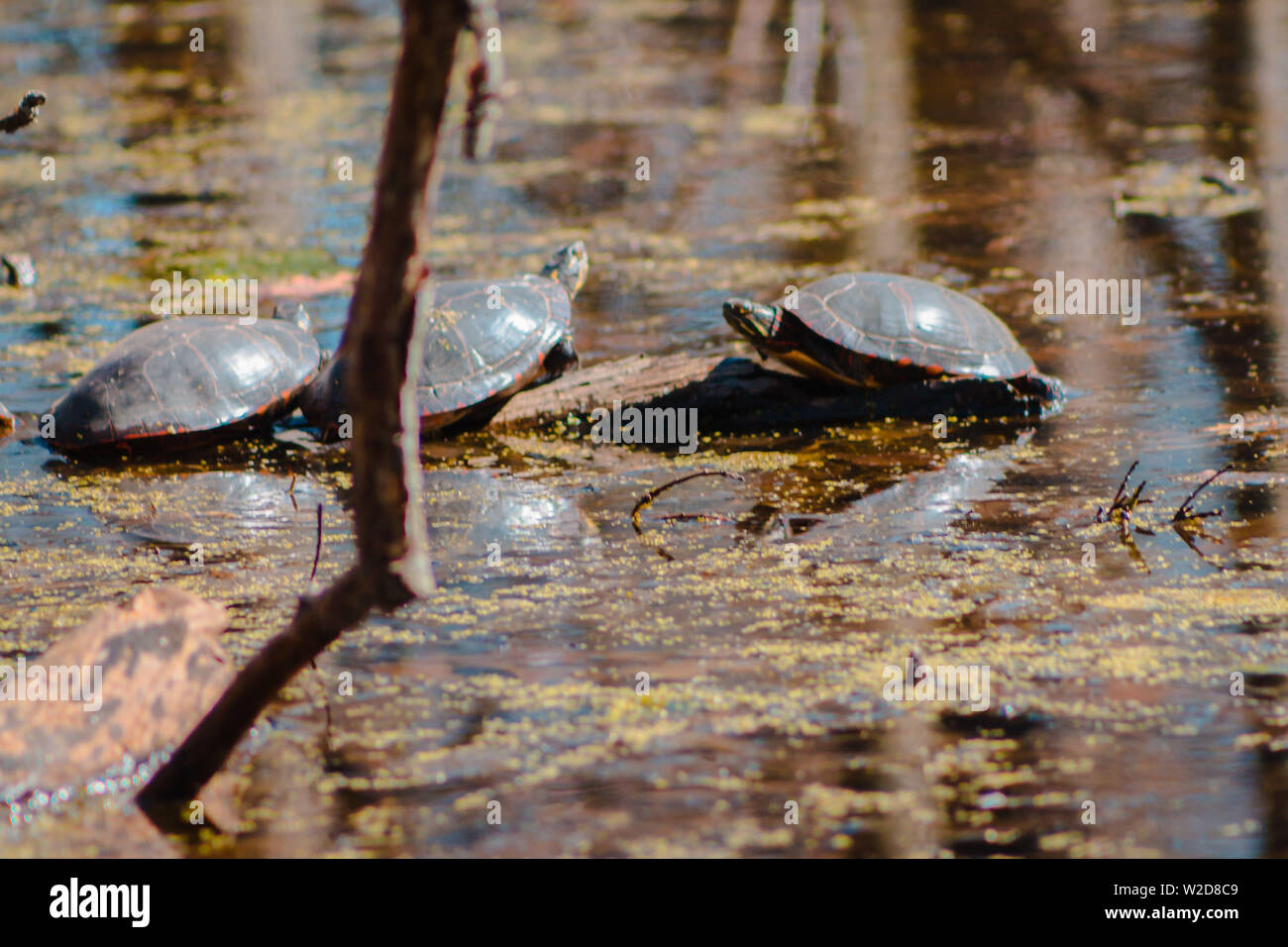 Close up of turtles sunning in a pond - Stock Image