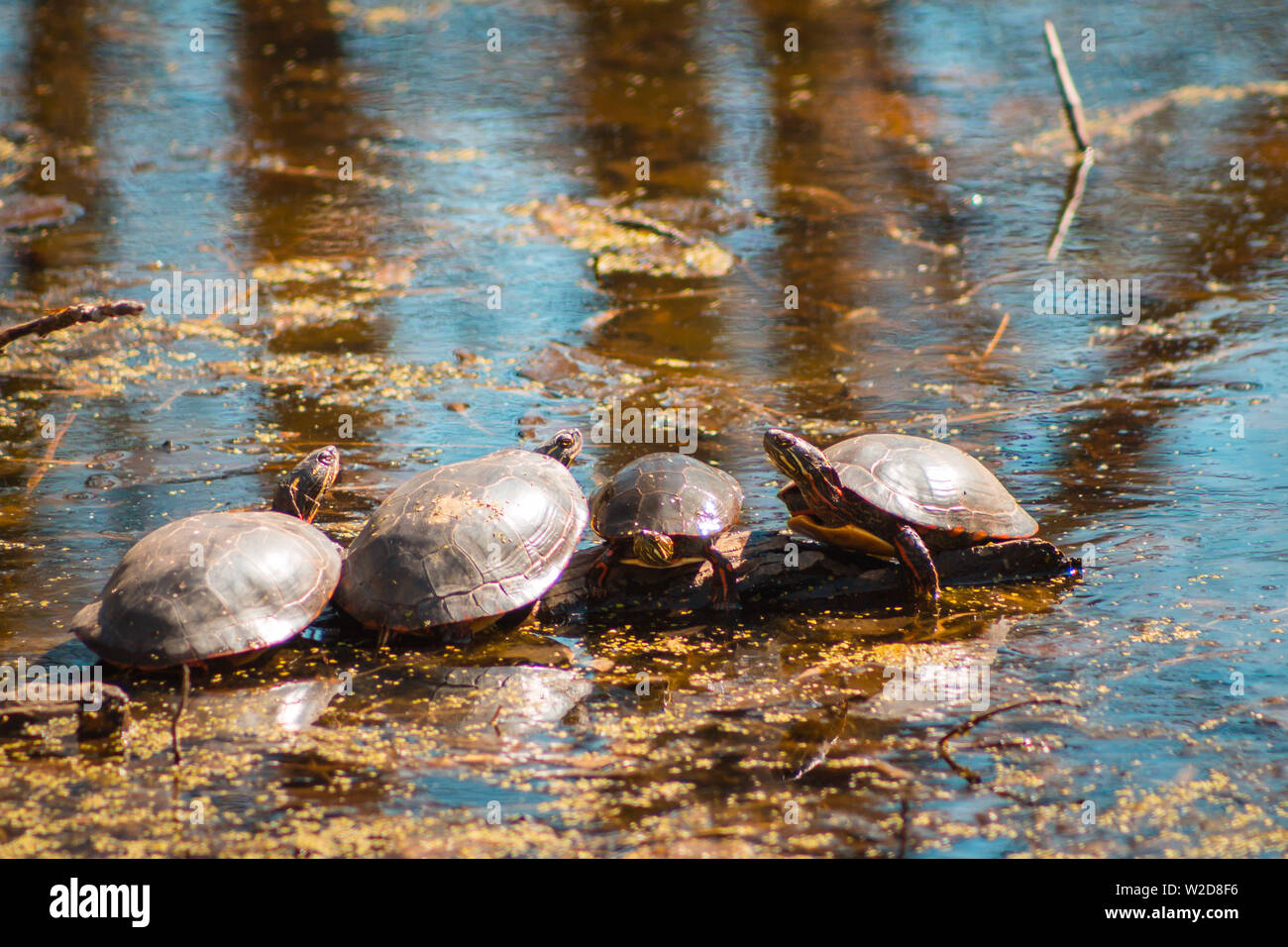 Four turtles on a log in a pond - Stock Image
