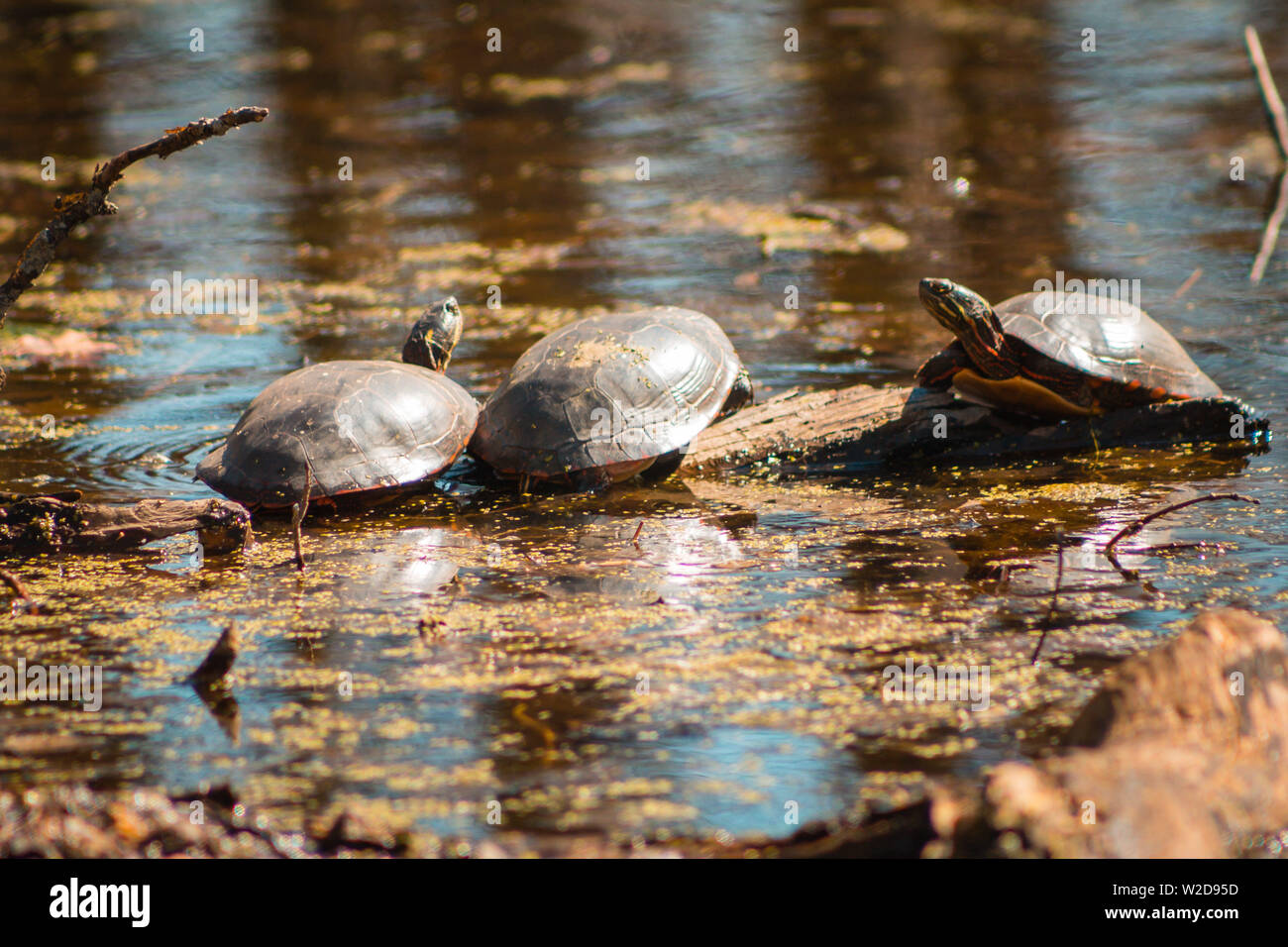 Three turtles warming themselves on a sunny day in a pond - Stock Image