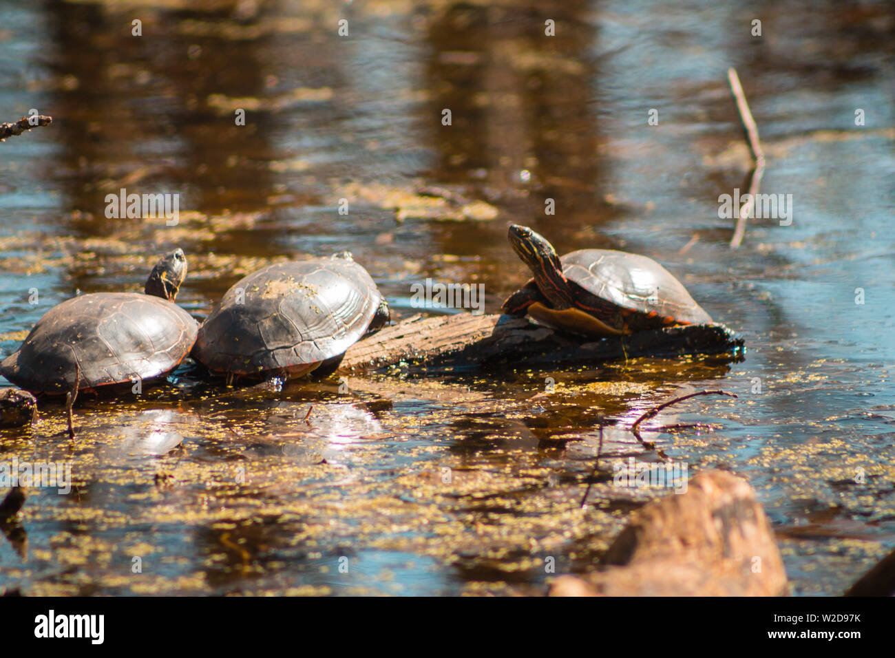 Turtles swimming to a branch in a bond - Stock Image