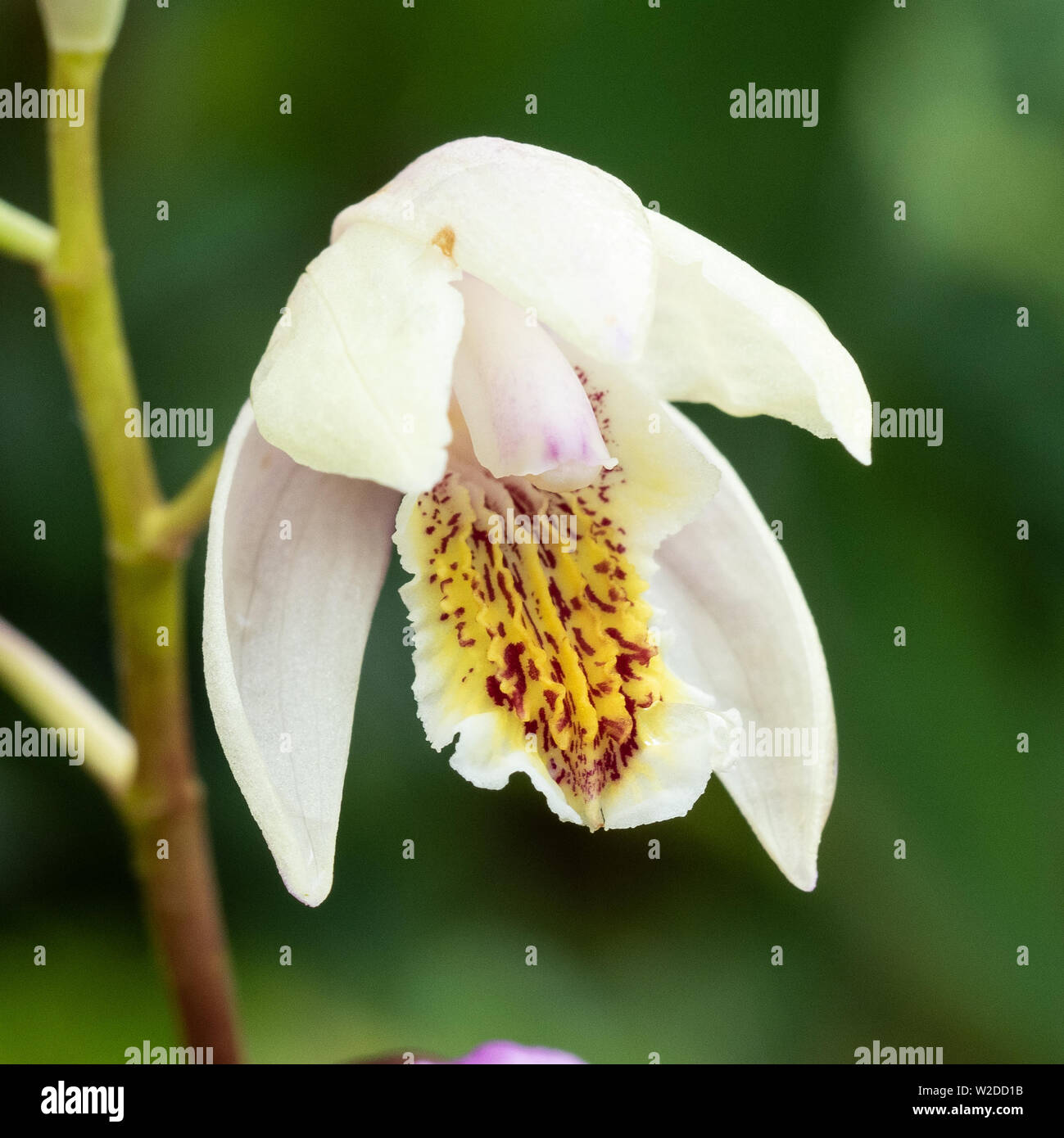 Chinese Orchid Stock Photos & Chinese Orchid Stock Images ...
