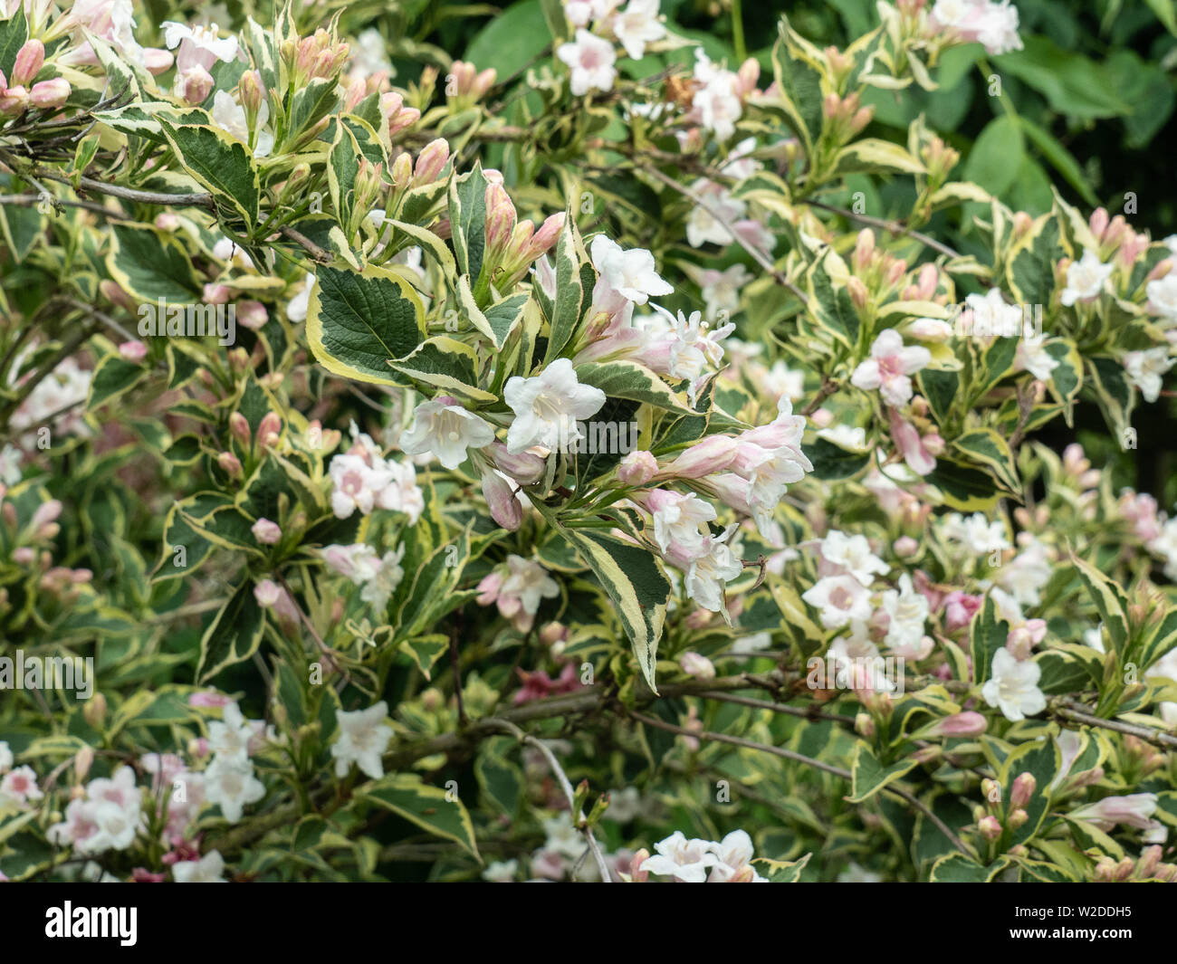 A bush of Weigela florida variegata showing the very pale pink flowers and variegated foliage Stock Photo