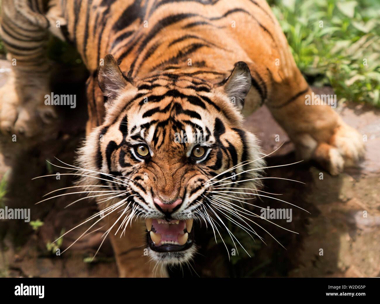 Sad Tiger Stock Photos & Sad Tiger Stock Images - Alamy