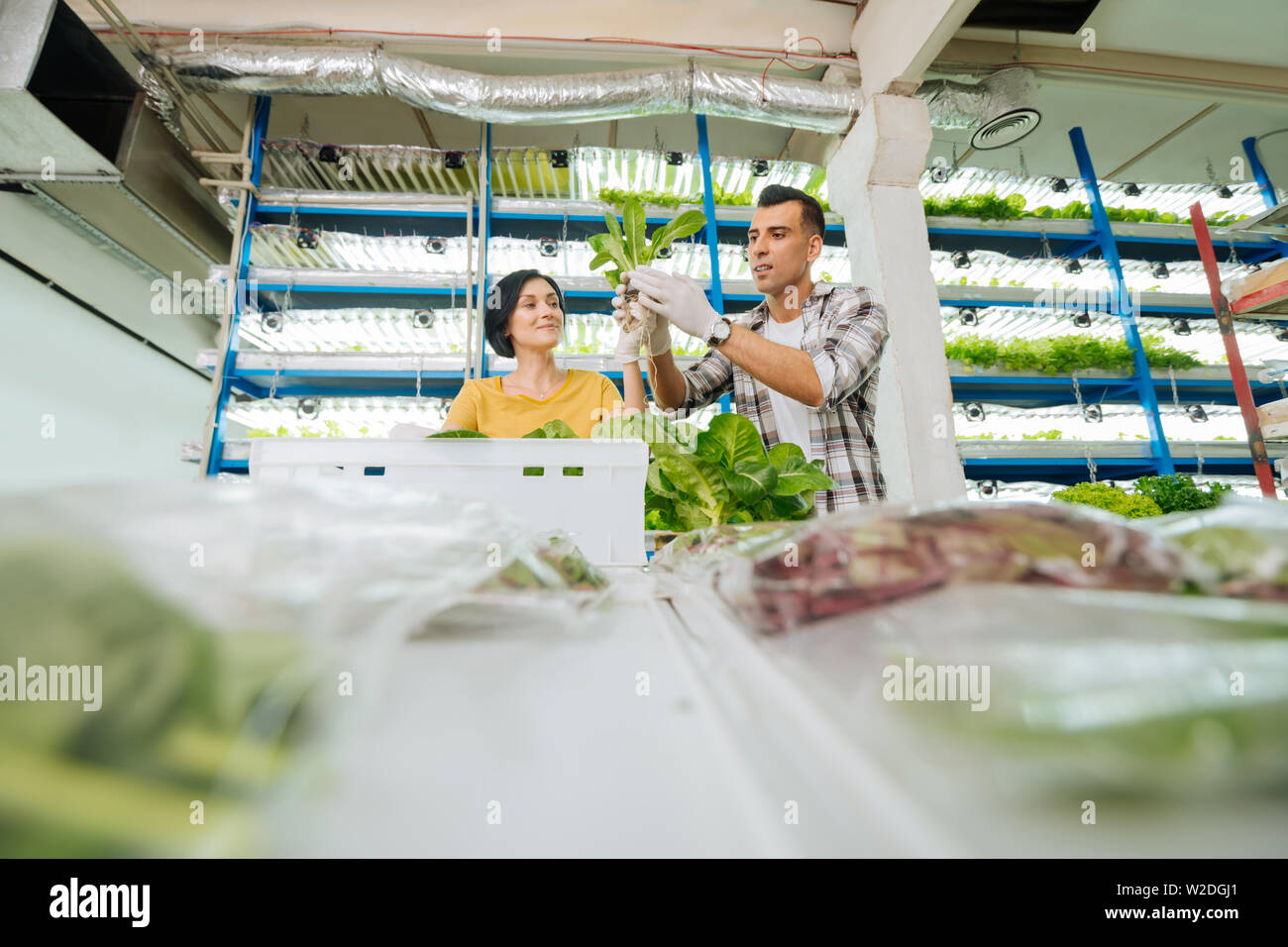 Husband and wife planting greens in greenhouse at the weekend Stock Photo