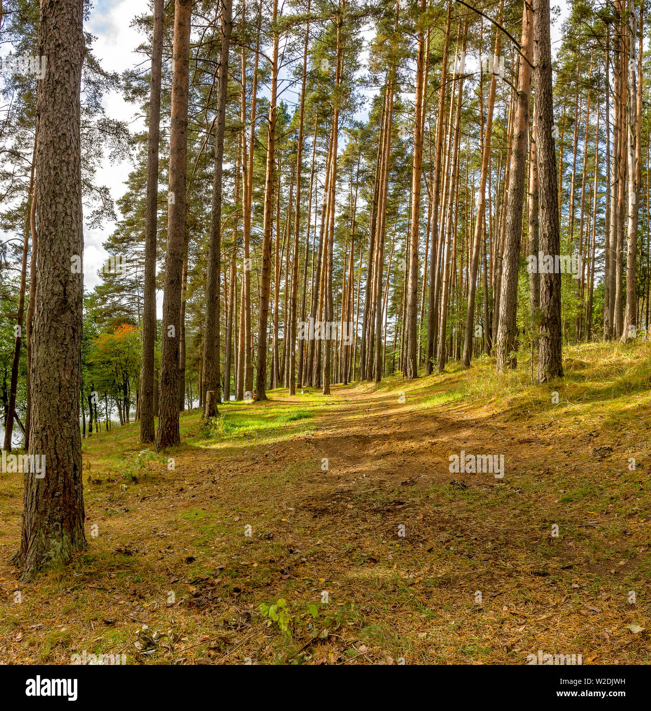 Panorama of coniferous autumn forest with yellow leaves on small trees. Stock Photo