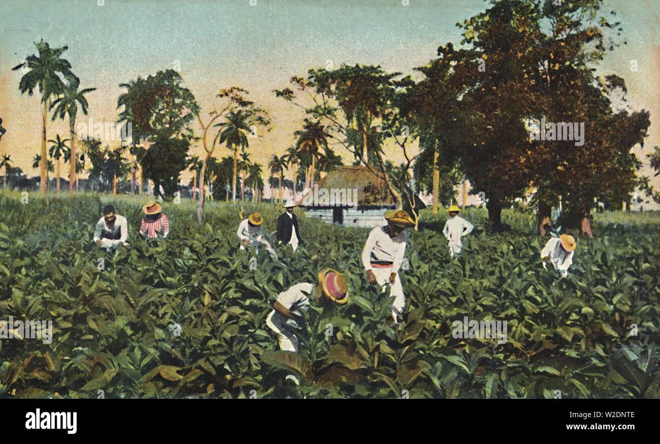 Tobacco plantation, Cuba, c1920s. Postcard. [The Rotograph Co., New York City (Germany)] - Stock Image