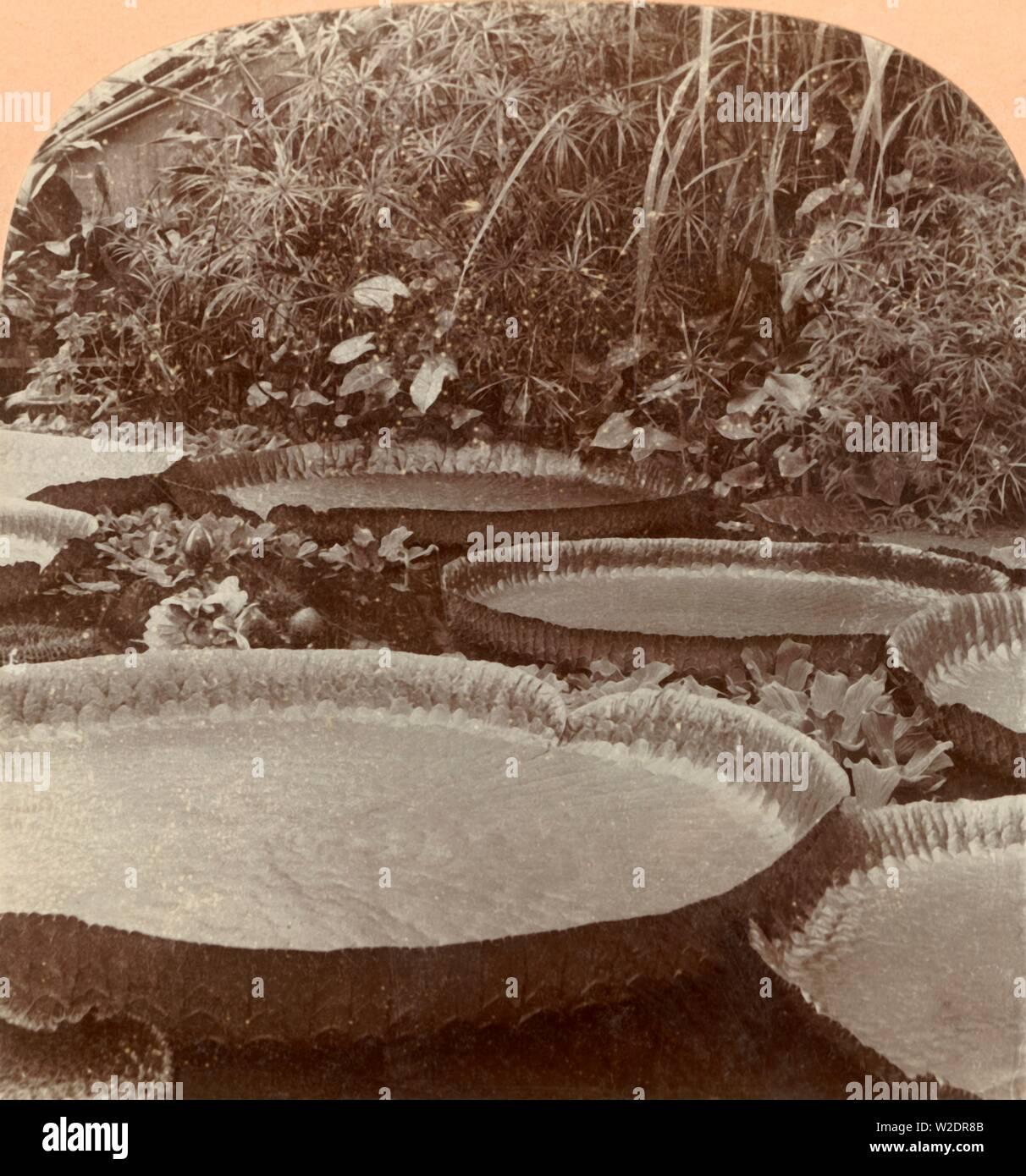 'Thureza Lily, Botanical Garden, Hamburg, Germany', 1895. Creator: Keystone View Company. Stock Photo