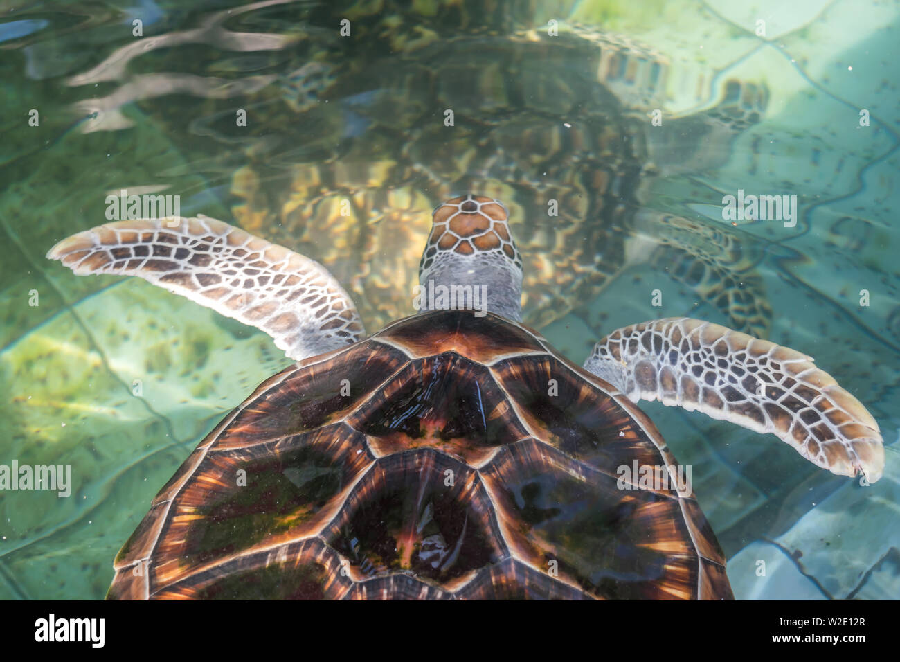 The sea turtle swims in the treatment pool for conservation - Stock Image