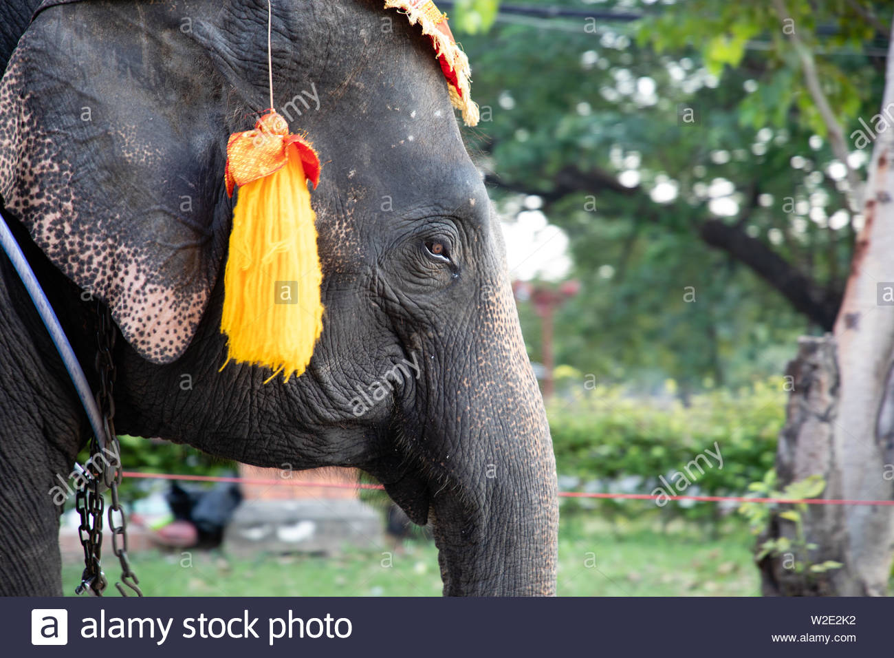 Elephant head shot with chains used for transportation - Stock Image