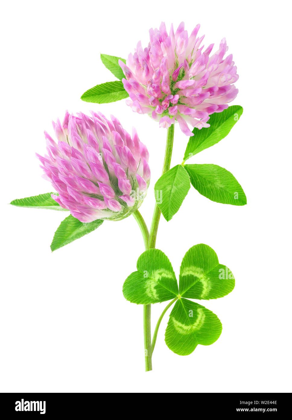 Isolated flower. Pink clover with stem and leaves isolated on white background with clipping path Stock Photo
