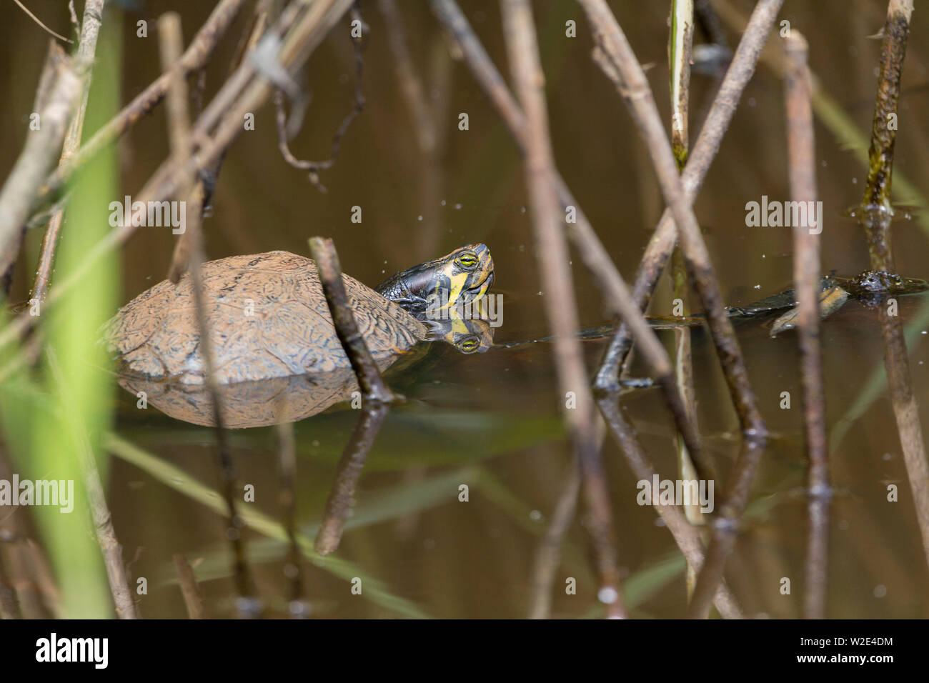 Terrapin in British nature reserve sunbathing in small pond area. Reptile pets are released into the UK wild waters and thrive on aquatic wildlife - Stock Image